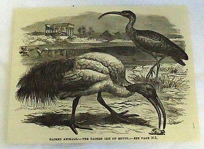 1882 magazine engraving ~ SACRED ANIMALS- Sacred IBIS BIRD of Egypt
