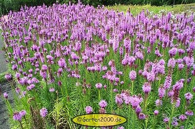 Prachtscharte, Liatris spicata, Pflanze ab 1,50 (Staffelpreise)
