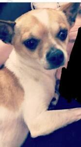 "Adult Male Dog - Chihuahua: ""Jose'"""