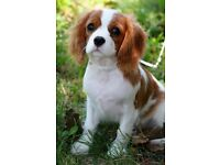 Gorgeous cavalier king charles for sale 🐶 SOLD