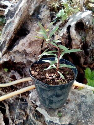 1 PIANTA DI CALLISTEMON CITRINUS 40/60 cm Pflanze-plant-