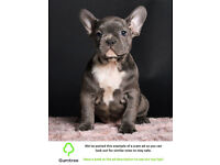Extremely cute French Bulldog Puppies -- Read the ad description before replying to this ad!!
