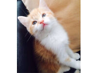 Ginger and white kittens for sale!