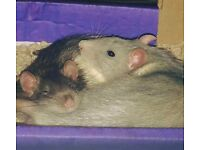 2 Male Rats very tame & everything with cage