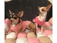 2 female chihuahuas dogs