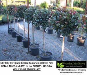 Lilly Pilly Big Red Topiary Feature Plant - Check These Out! Mudgeeraba Gold Coast South Preview