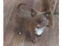 Cute & Tiny Chocolate Longcoat Chihuahua male puppies!