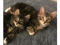 Long haired tabbies available