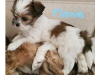 2 Gorgeous Lahsa Apso Puppies 1 Boy and 1 Girl
