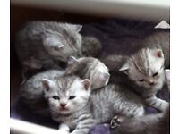 Cats For Sale In Beccles Suffolk Gumtree