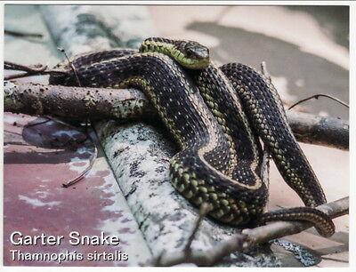 Postcard Garter Snake On Tree Limb