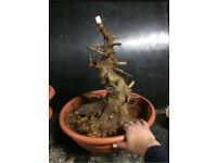 "Quality ""Acer buergerianum"" Trident Maple Bonsai Material"