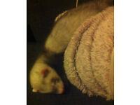 12 week old female ferret for sale