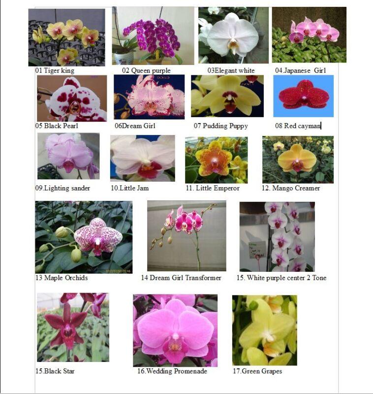 High Quality phalanaposis Orchids $ 14.99Farm Fresh
