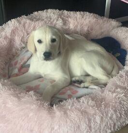 12 Week Old Female Golden Retriever X Labrador Puppy