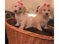 2 Female / 1 Male Poochon Pups 8 Weeks Old