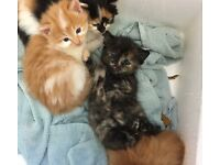 Long haired and semi long kittens