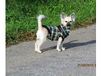 6 month old male chihuahua for sale