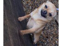 Pomeranian / Pug