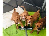 Puppies American XL x Staffy