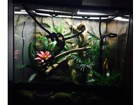 Snake Green tree python with full setup