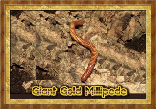 Giant Gold Millipede ( Orthroporus ornatus) Educational & Fun