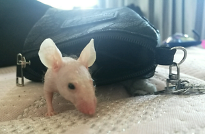 WANTED hairless FEMALE mice Surry Hills Inner Sydney Preview