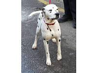 dalmatian dog for sale