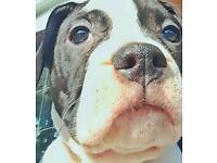 Alapaha blue blood bulldog pedigree