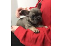 French Bulldogs Girls... Happy and Healthy