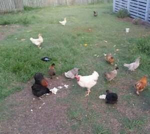 Chickens for sale! Inala Brisbane South West Preview