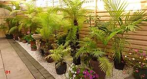 HUGE PALM SALE - Palms from $10 to $70 Morphett Vale Morphett Vale Area Preview