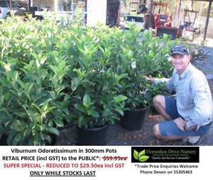 SUPER SPECIAL - Viburnum Odoratissimum Reduced In 300mm Pots Tallai Gold Coast City Preview