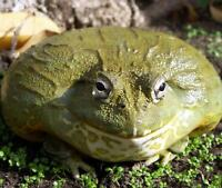 Male Pixie Frog
