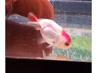 2 fancy goldfish