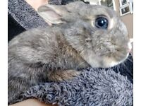 Female Spayed Rabbit For Sale