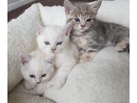 Silver tip tabby kittens