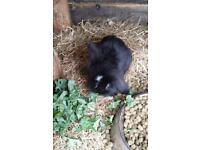 Baby minilop lionhead rabbits