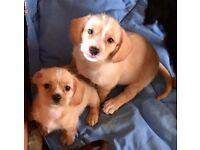 6 Bassett Hound x Shih Tzu x Chihuahua puppies