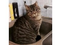 Grey tabby cat needs a new home