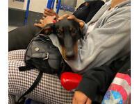 Doberman Female Puppy for Sale