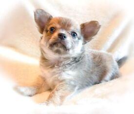 3 Beautiful Show Quality Exquisite Male Long Coat Chihuahuas