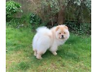 Chow Cow Puppy for sale