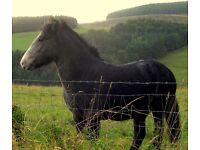 Eriskay Pony. Ridiculously friendly 2 year old gelding who will sleep with his head on your knee!