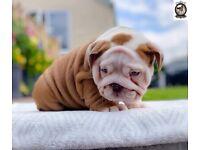 English bulldog puppies males and females available