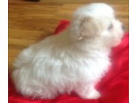 KC Registered Maltese Pups ready on 26th August. 1 girl and 3 boys will be microchip'd and wormed