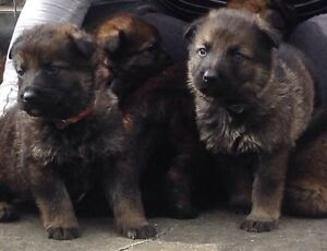German shepherd pure bred pups males and females Mount Tarampa Somerset Area Preview