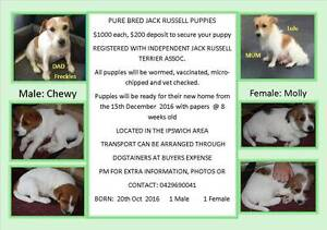 Pure Bred Jack Russell Puppies Ipswich Ipswich City Preview