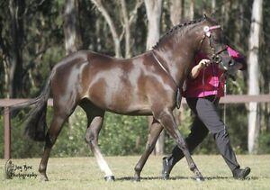 Beautiful Australian pony mare Horsley Park Fairfield Area Preview