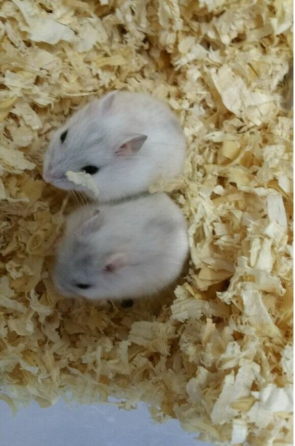 2 Baby Hamsters + LARGE Cage + Accessories | in Inverness, Highland |  Gumtree